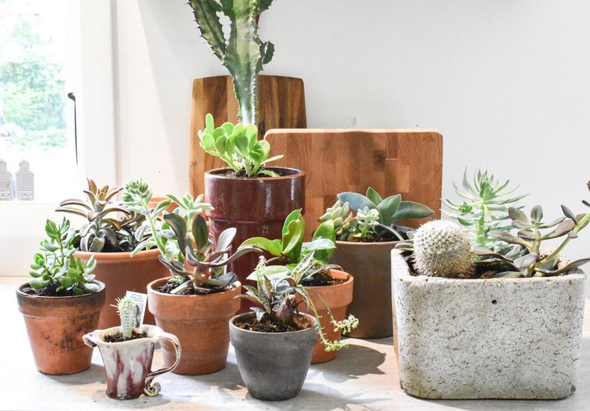 about succulents 1